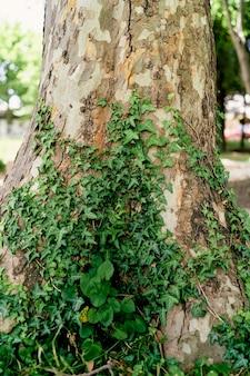 Le lierre vert tisse le long du tronc d'un gros plan rapproché de platane