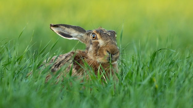 Lièvre brun regardant sur le champ vert dans la nature d'été