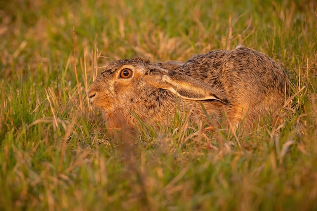 Lièvre brun se cachant dans l'herbe dans la lumière du soir d'été