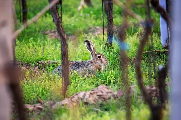 Lièvre d'europe sur l'herbe verte avec des vignes