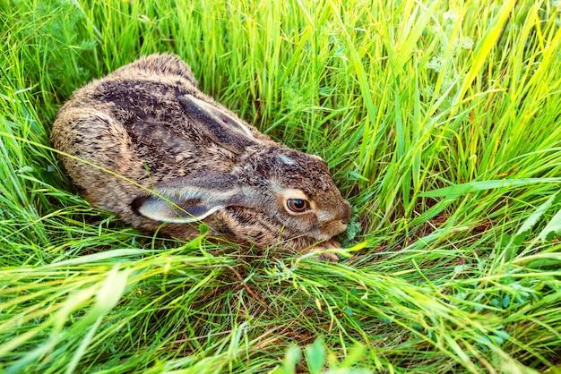 Lièvre d'europe ou lepus europaeus est assis dans l'herbe