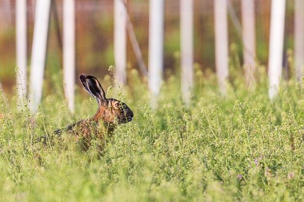 Lièvre d'europe sauvage assis dans l'herbe verte prairie.