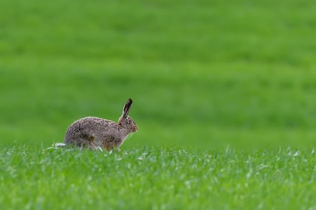Lièvre mignon assis dans l'herbe de printemps. scène de la faune de la nature. animal sur le pré