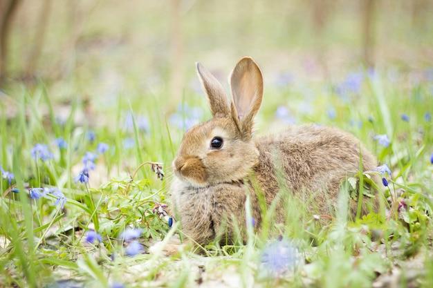 Lièvre sauvage dans un pré en fleurs au printemps.