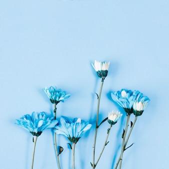 Ligne de marguerites bleues vue de dessus