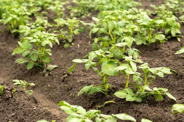 Des lignes de pousses de pommes de terre poussent sur des terres cultivées dans un potager