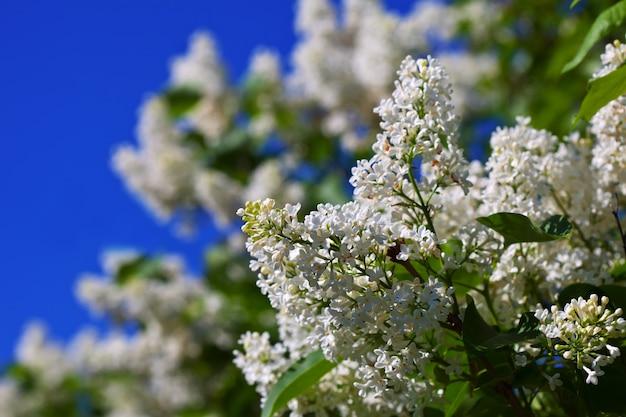 Lilas blanc contre le ciel bleu