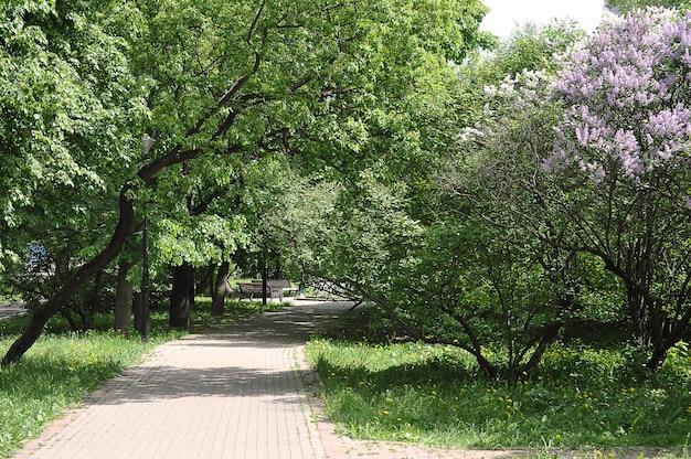 Lilas en fleurs dans le parc-fond de fleurs de printemps