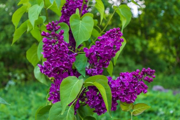 Lilas en fleurs violet avec des feuilles vertes dans le jardin de printemps