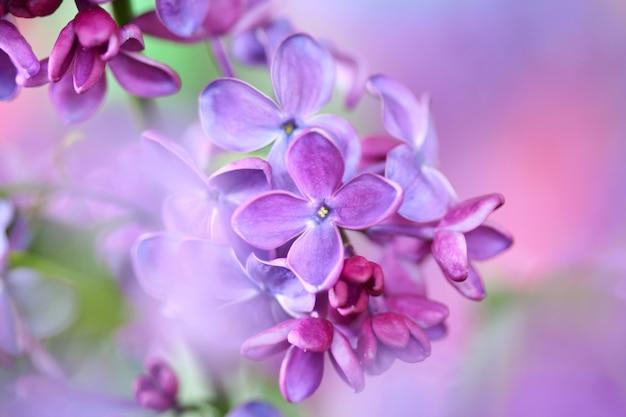 Lilas sur fond coloré