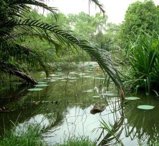 Lilly étang tropical