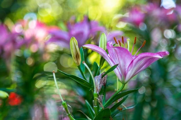 Lily dans le jardin