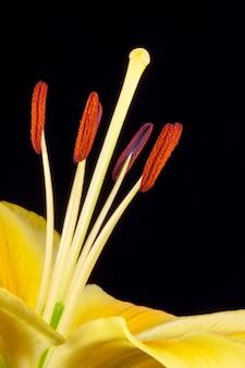 Lily jaune (lilium) gros plan sur un fond sombre