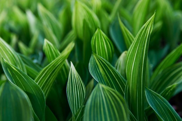 Lily of the valley feuilles rayées dans la forêt se bouchent
