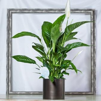 Lily de la paix, spathiphyllum, le bonheur des femmes dans le pot noir, l'espace du cadre