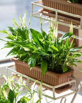 Lily de la paix, spathiphyllum, plante de bonheur des femmes sur le pot de fer