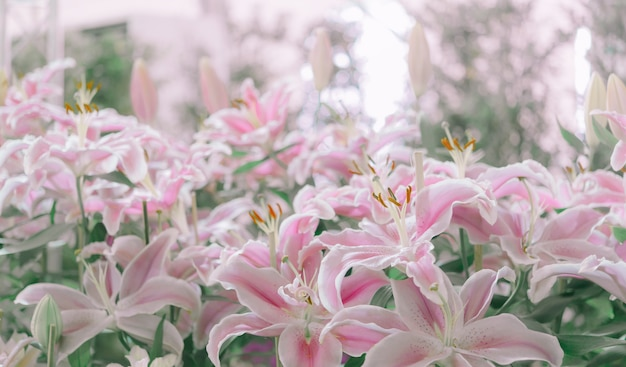 Lily rose dans le jardin, lily joop flowers