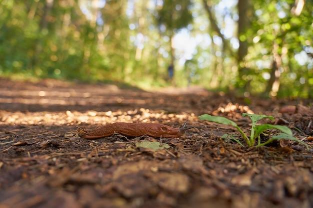 Une limace espagnole à proximité sur un chemin dans les bois.