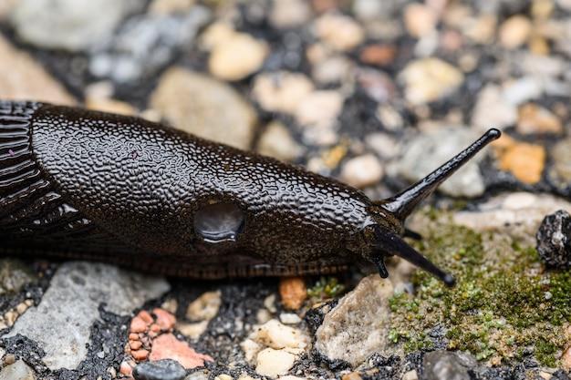 La limace noire (arion ater)