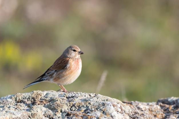 Linotte commune, linaria cannabina, petit oiseau passereau. linotte rouge à l'état sauvage.
