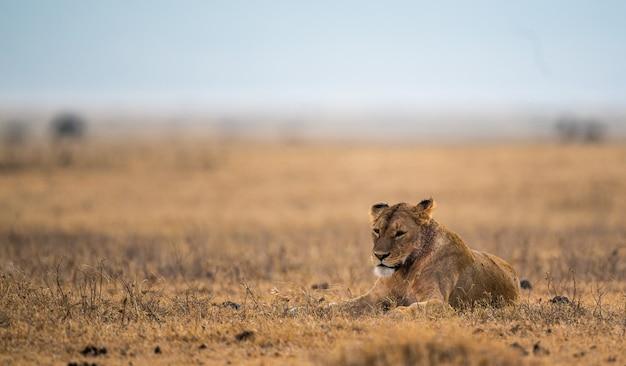 Lion allongé sur le sol sous la lumière du soleil avec un arrière-plan flou