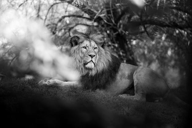 Lion animal mammifère et faune
