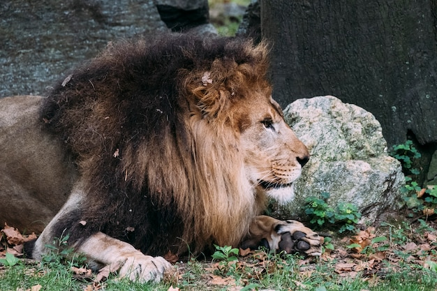 Lion au zoo du bronx. new york