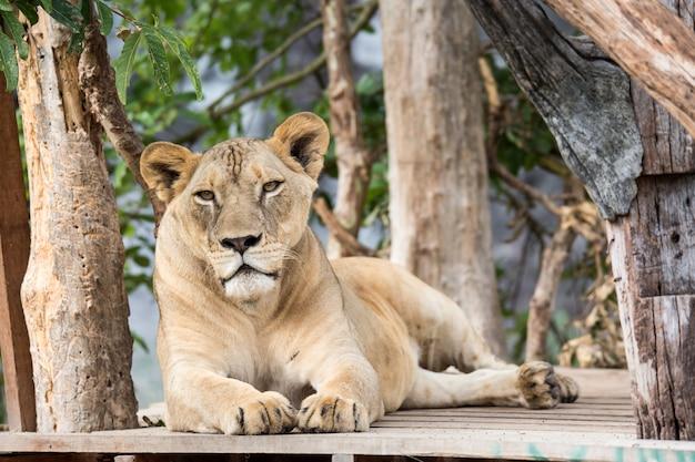 Lion au zoo