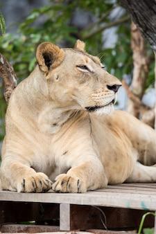 Le lion au zoo