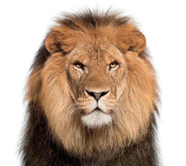 Lion sur blanc dans un studio