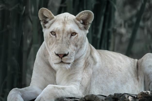 Le lion blanc