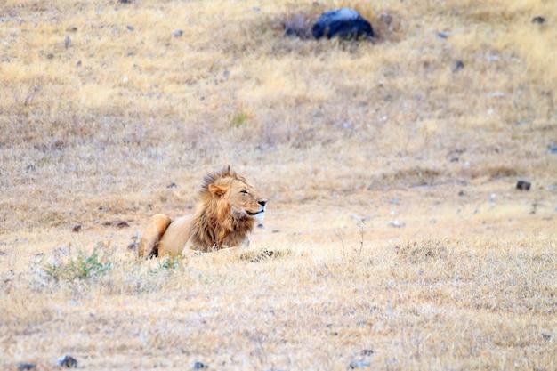 Lion sur le cratère de la zone de conservation du ngorongoro