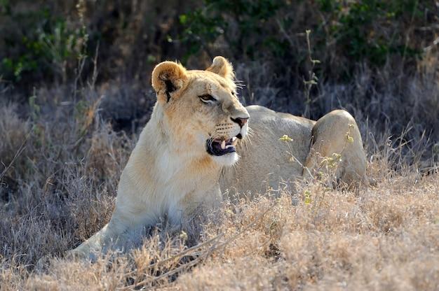 Lion dans le parc national du kenya, afrique
