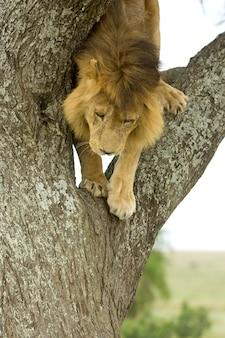 Lion descendant un arbre