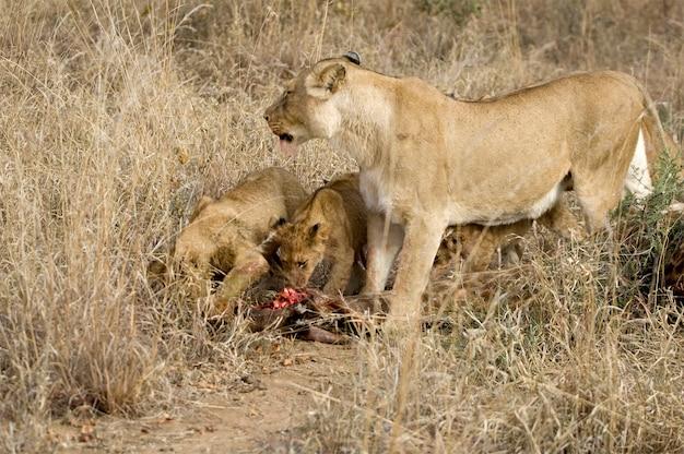 Lion à l'état sauvage
