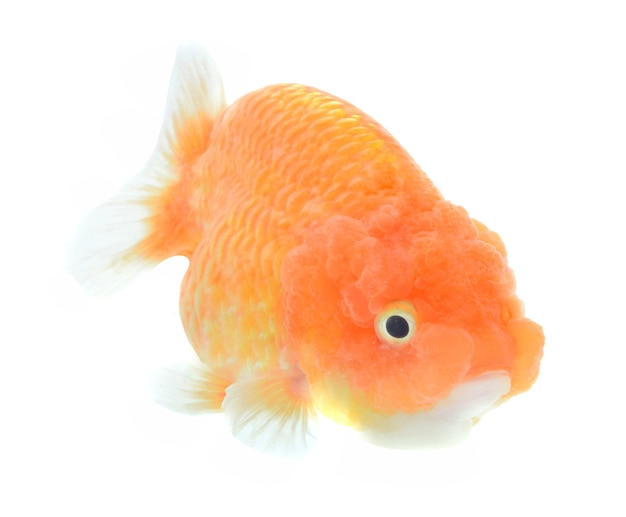 Lion Head Goldfish Isolé Sur Blanc Photo Premium