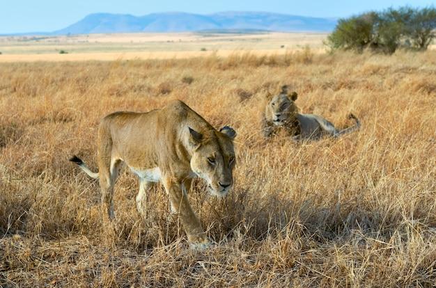 Lion et lionne couple dans la savane, l'afrique, le parc national du masai mara au kenya