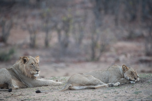 Lion mâle et femelle reposant sur le sol