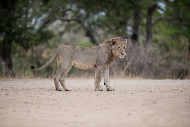 Lion mâle marchant sur la route
