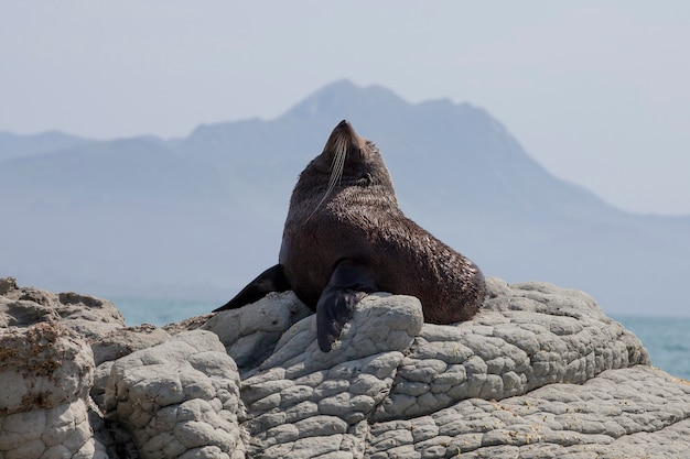 Lion de mer noire à kaikoura, nouvelle-zélande