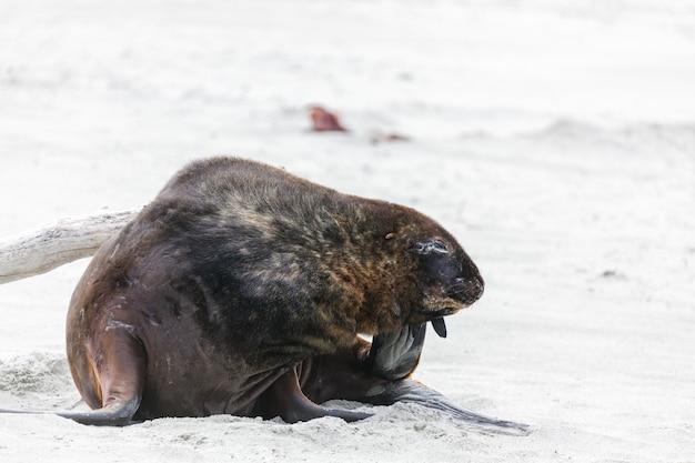 Lion de mer de nouvelle-zélande (phocarctos hookeri) ayant une égratignure sur la plage