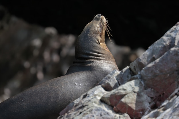 Lion de mer (otaria flavescens)