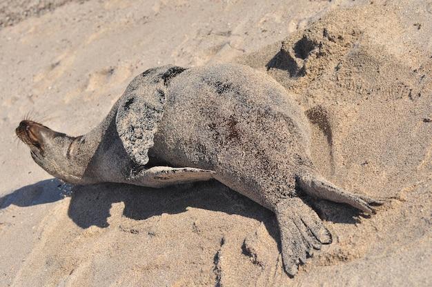 Lion de mer sur la plage