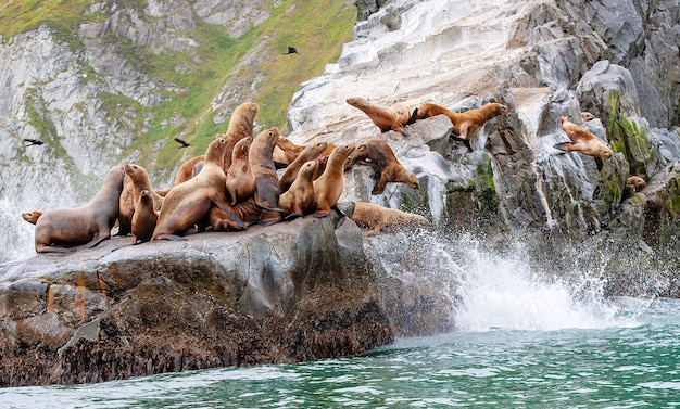 Le lion de mer de steller assis sur une île rocheuse dans l'océan pacifique sur la péninsule du kamtchatka