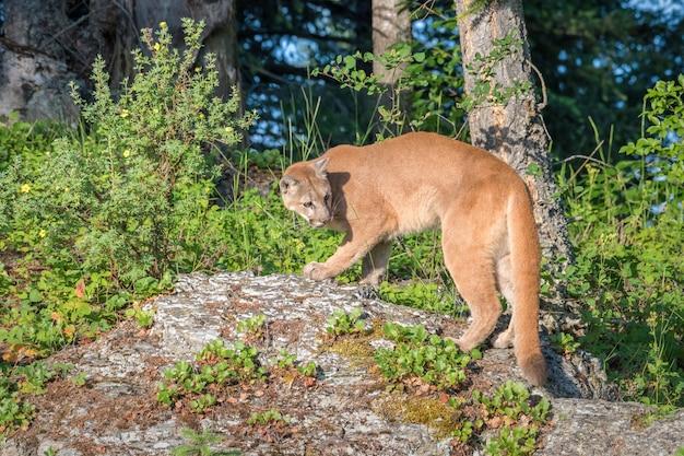 Lion de montagne au sommet d'un affleurement rocheux et regardant en arrière par-dessus une épaule