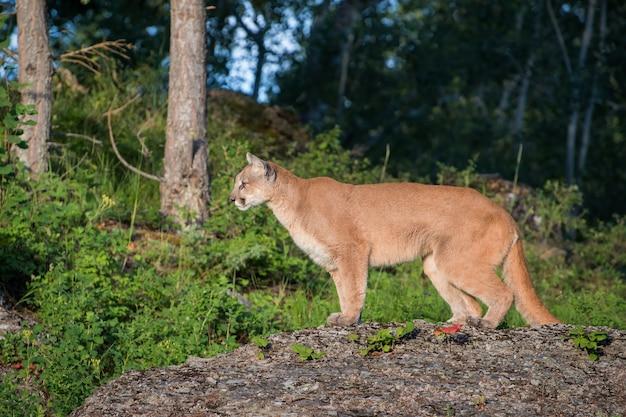 Lion de montagne au sommet d'un affleurement rocheux regardant vers l'avant dans les arbres