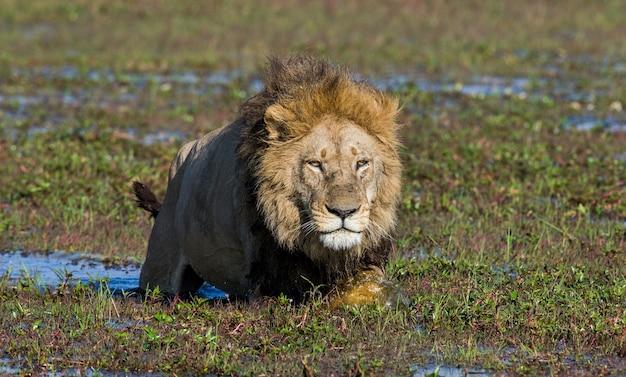 Lion nage à travers le marais