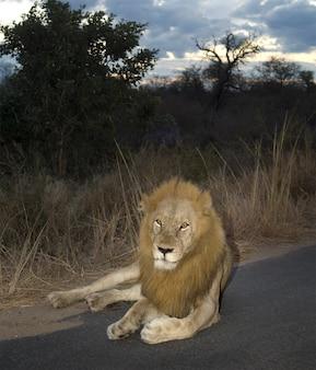 Lion la nuit