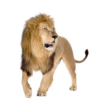 Lion, panthera leo sur un blanc isolé