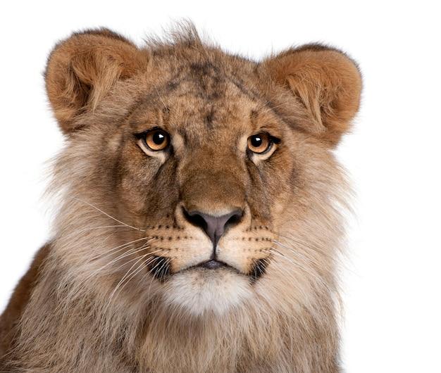 Lion, panthera leo, isolé